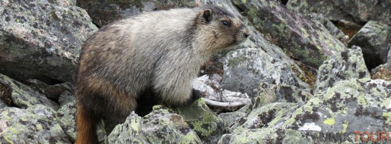 Marmotte au Lac O'hara