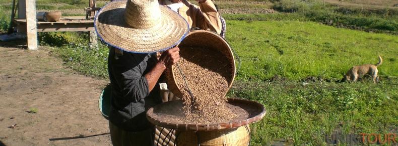 Cueillette du riz