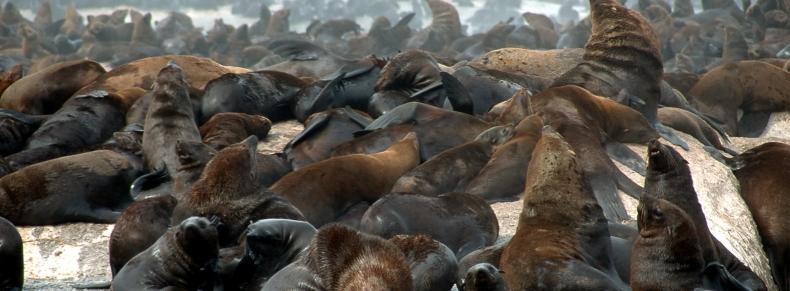 Arctic - Seals