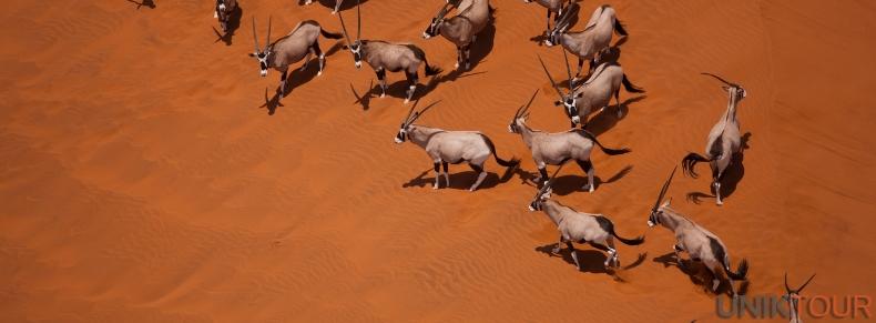 Oryx, désert du Namib