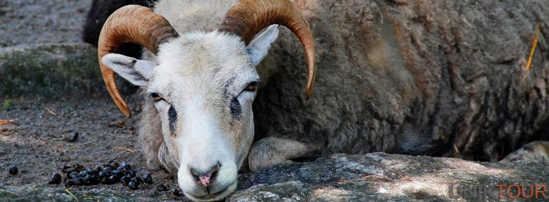 Mouton du Gotland