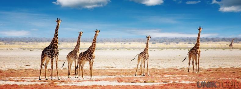 Girafes dans le parc national d'Etosha