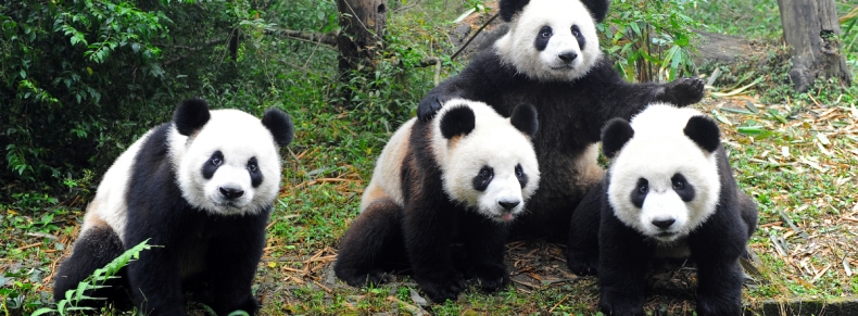 Réserve des pandas, Ya'an