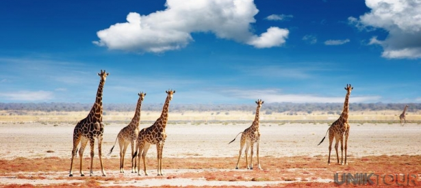 Girafes dans le parc national d&#039;Etosha