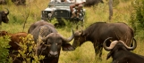 Herd of cape buffaloes before off road vehicle