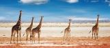 Herd of Giraffes, Etosha